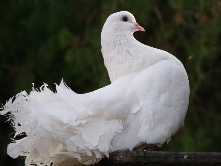 Найбільш поширені хвороби голубів