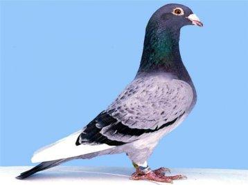 Вирощування спортивних голубів