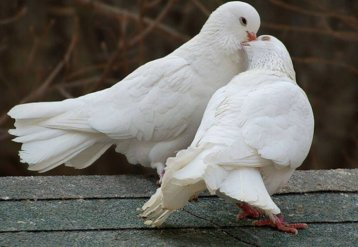Як підготувати голубів до виставки?