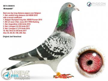 Найдорожчий голуб світу. Рекорд встановлено