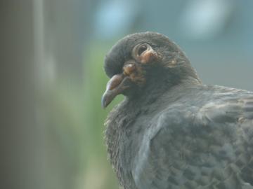 Оспа голубей. Лечение и профилактика